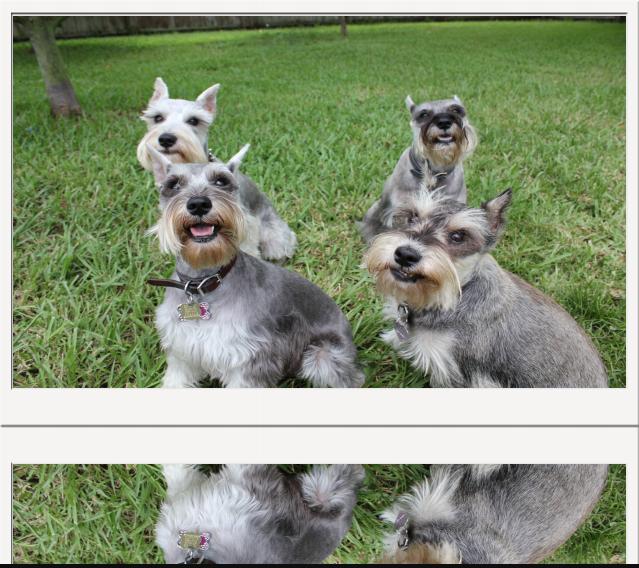 Puppies Schnauzer Puppy Love Pet Puppies