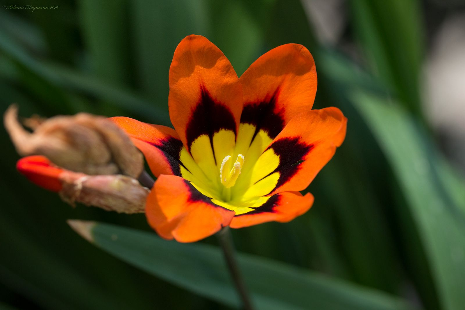 Sparaxis tricolor 002 | by Mugzemet
