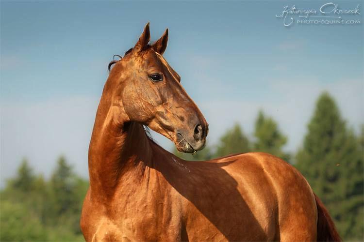 Beauties « Heart of a Horse - Russian Don - Bazof