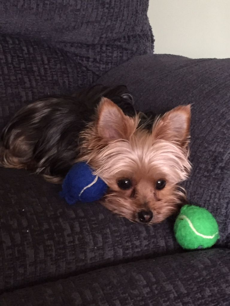 Boo Wanting To Play Yorkshire Terrier Puppies Yorkshire Puppies