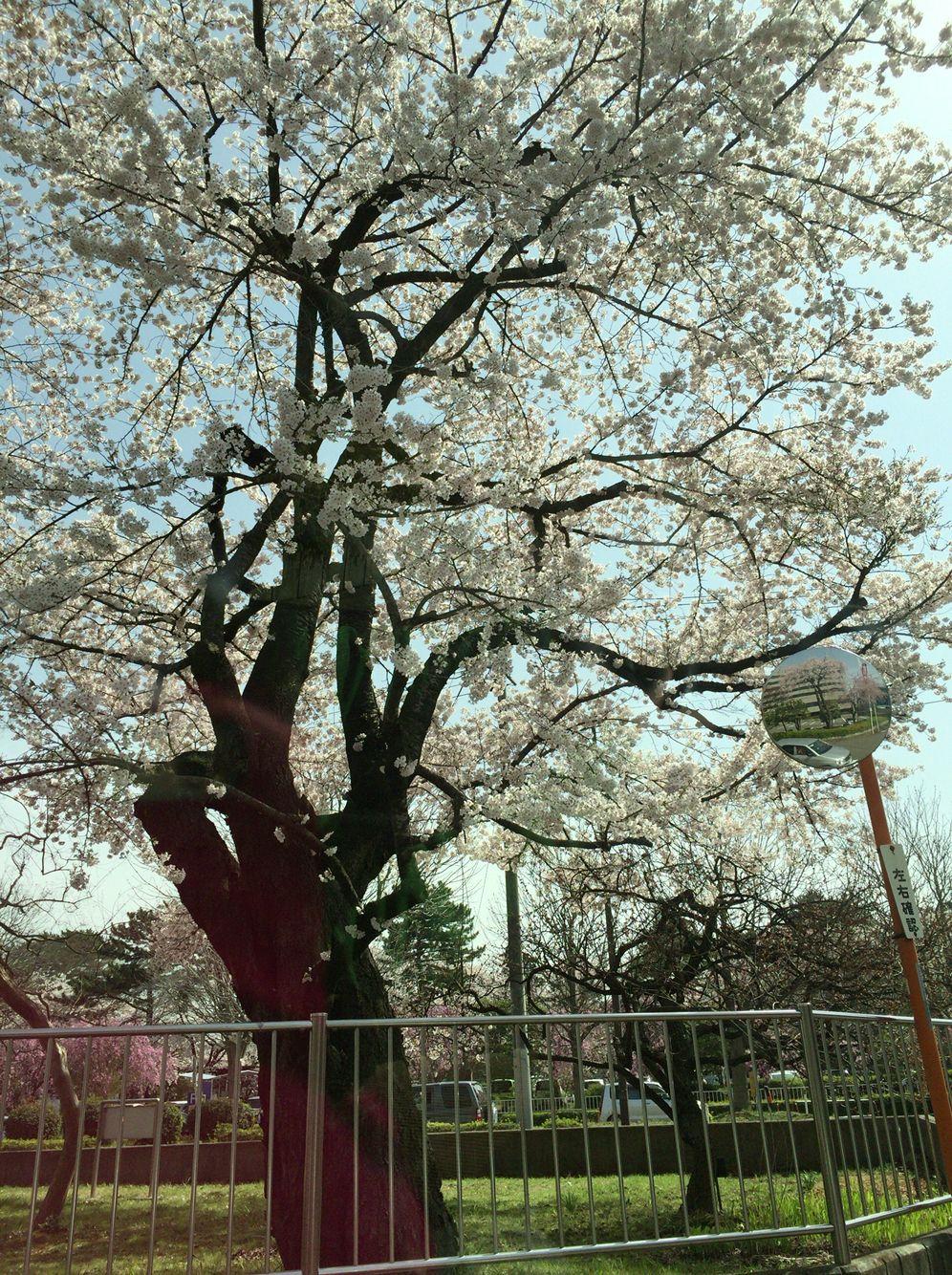 桜 榴ケ岡公園