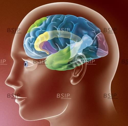 Illustration of the areas of the brain that are active while memorising a lesson. © Sophie Jacopin / BSIP