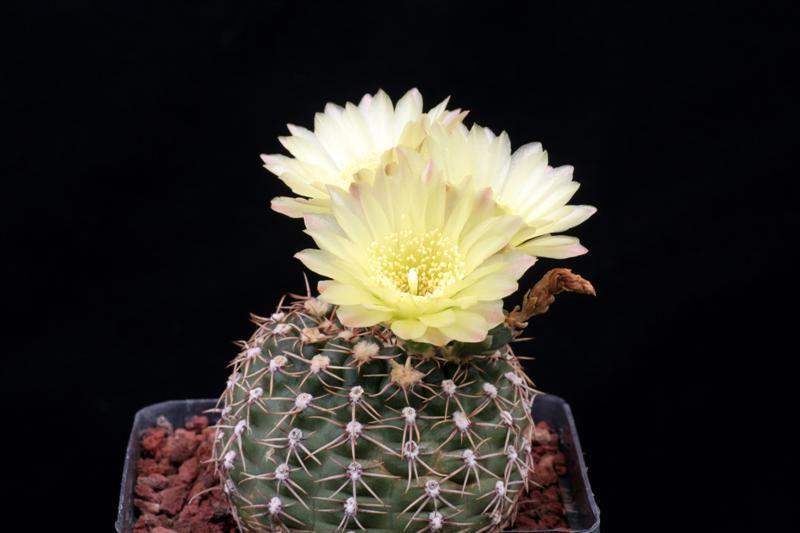 Gymnocalycium leeanum v. netrelianum
