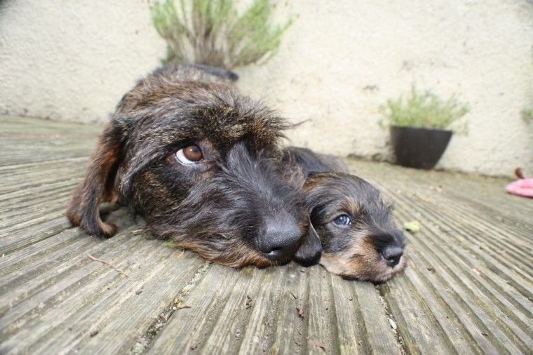 Standard Wire Haired Dachshund Pups Kc Registered Wire Haired