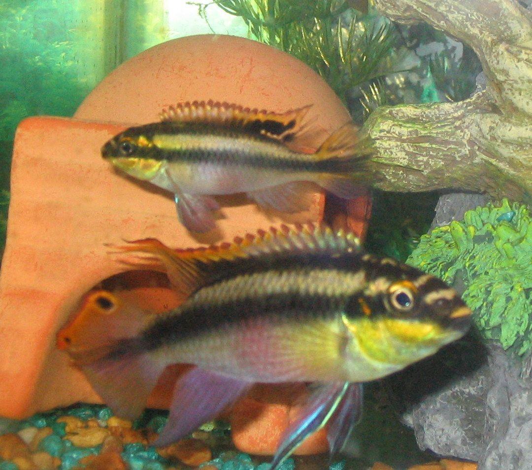 Male And Female Kribensis Cichlids Tropical Freshwater Fish Aquarium Fish