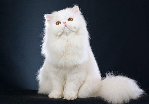 7 Most Popular Cat Breeds In India Most Popular Cat Breeds Popular Cat Breeds Persian Cat White