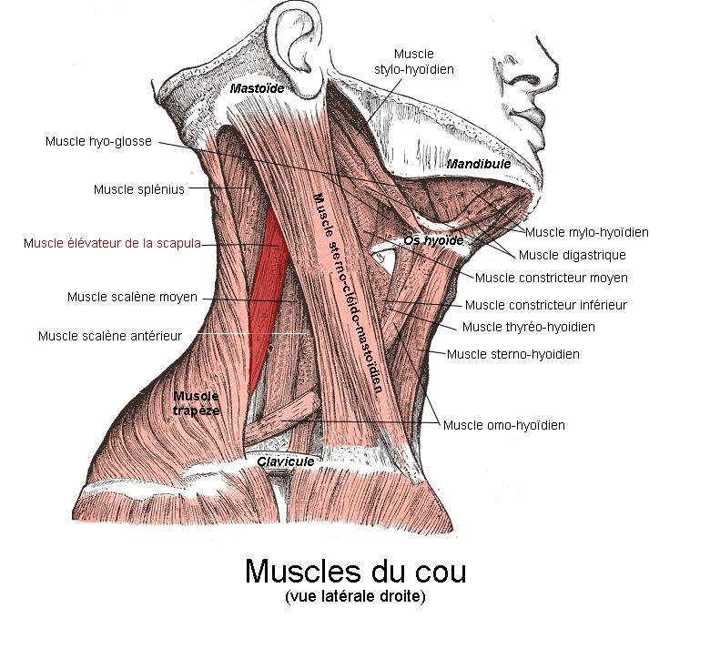 muscle élévateur de la scapula | anatomy | pinterest | scapula, Human Body