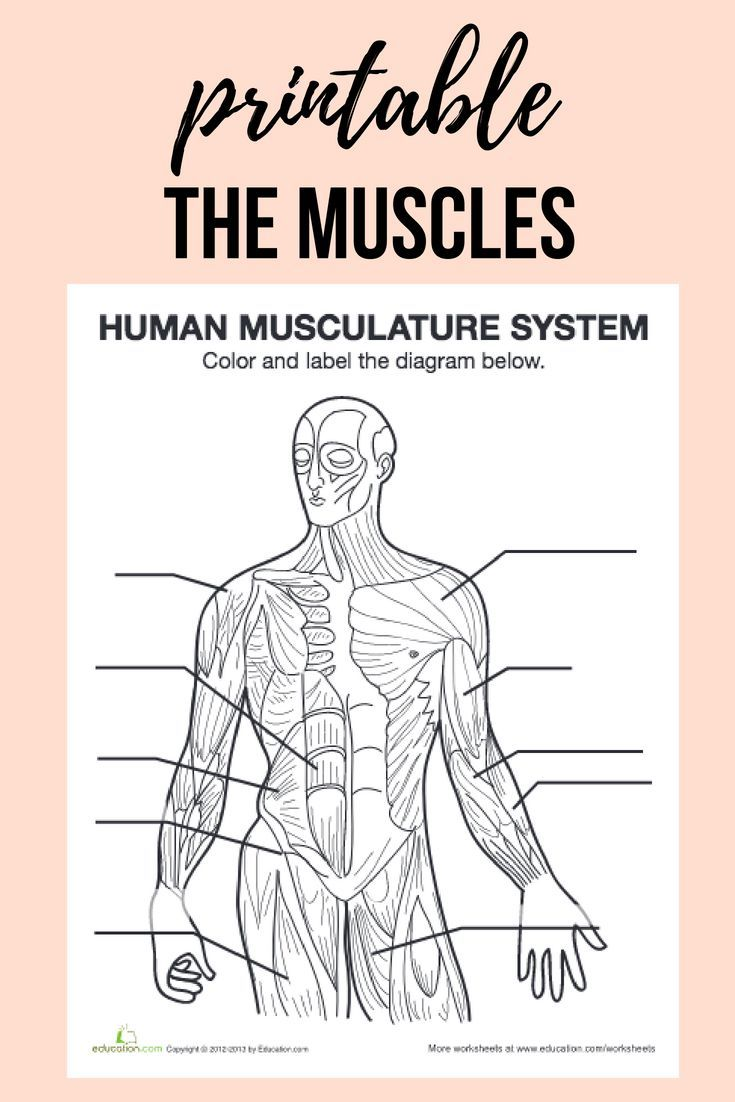 Studying The Human Body Get To Know Your Body Inside And Out With This Free Printable Muscle Diagram Muscle Diagram Human Anatomy And Physiology Fun Anatomy