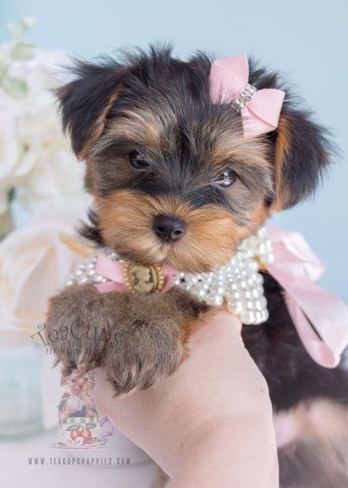 Beautiful Toy Yorkie Puppy Teacup Yorkies Yorkie Puppies