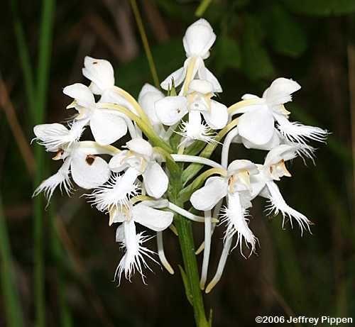 Dalmatian Orchid - Phalaenopsis I-Hsin Dalmatian   White Fringed Orchid (Platanthera blephariglottis) Craven Co., NC 27 ...
