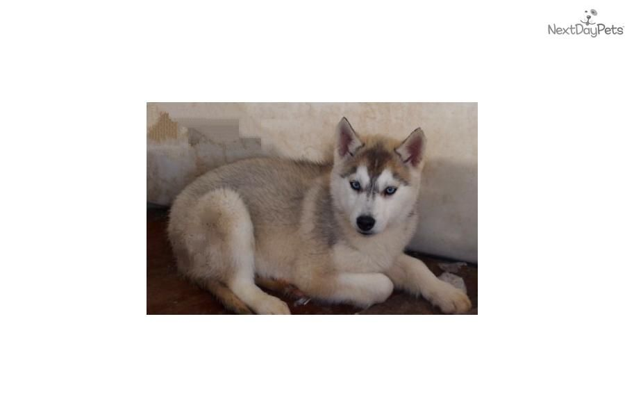 Meet M F Blue Eyes A Cute Siberian Husky Puppy For Sale For 450