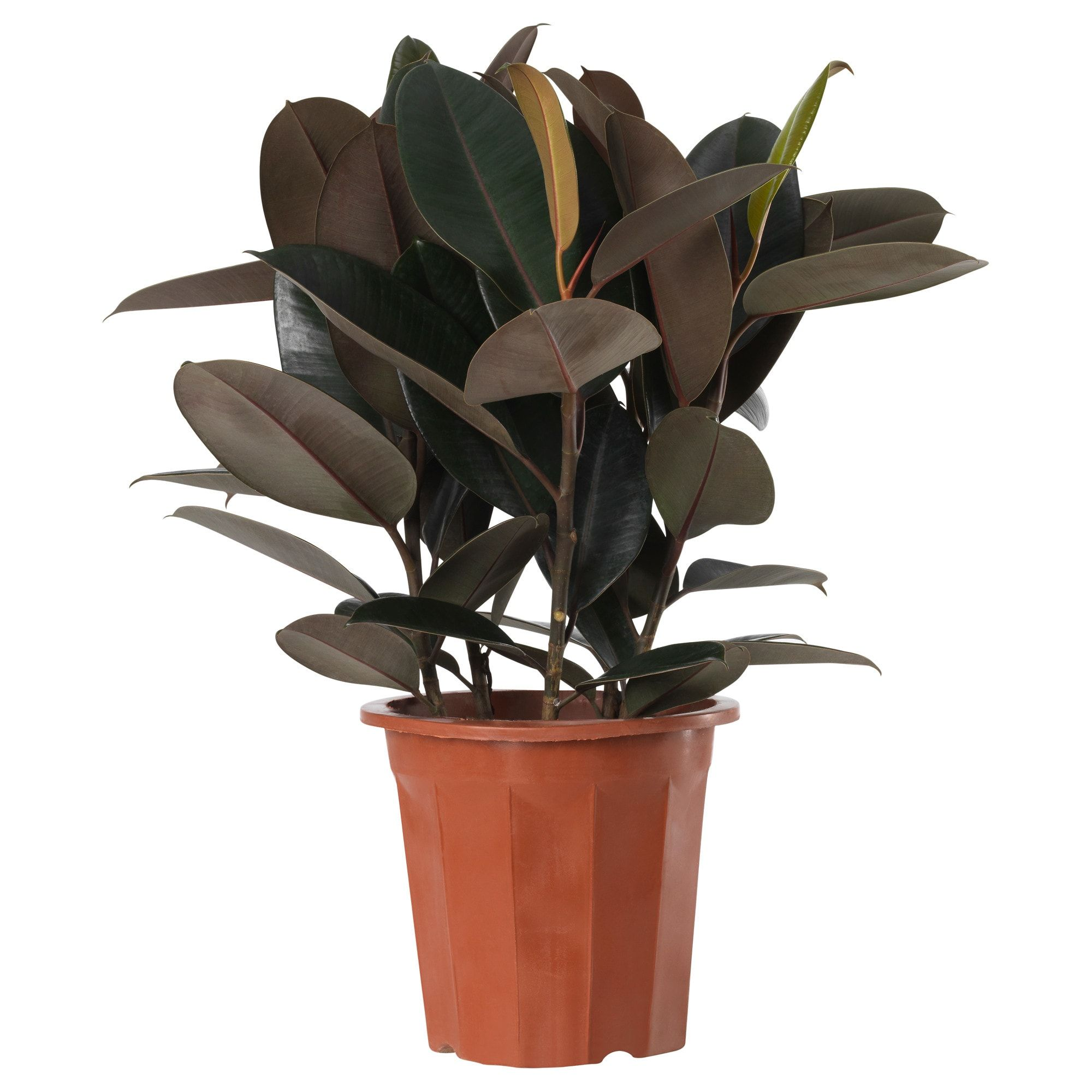 "FICUS ELASTICA Potted plant Rubber plant 10 "" Ficus"