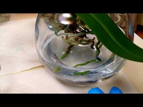 Fertilizing Tips For Orchids In Full Water Culture Youtube Orchids In Water Water Culture Orchids Orchid Fertilizer