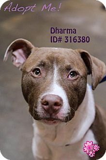 Camden, DE - American Pit Bull Terrier. Meet Dharma, a dog for adoption. http://www.adoptapet.com/pet/10604466-camden-delaware-american-pit-bull-terrier