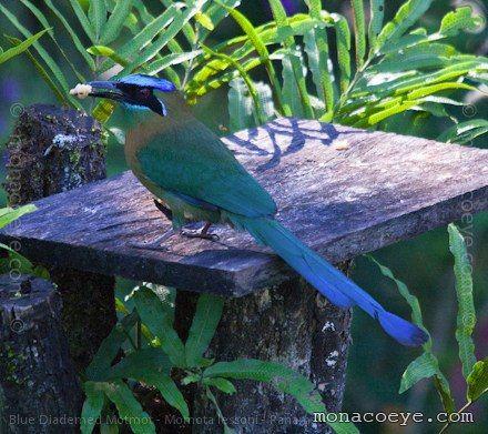 motmot bird pics | Blue Diademed Motmot | Momotidae, Motmots, Panama, Chiriqui, Finca ...