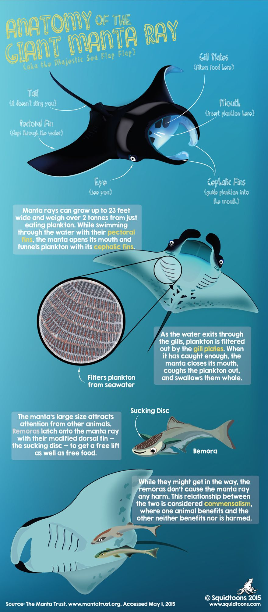The Anatomy Of The Manta Ray Scuba Diving Ocean Marine Life