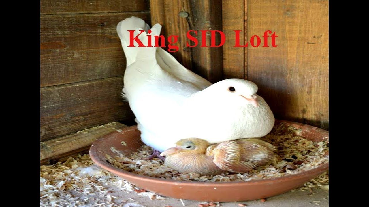 Best fancy Pigeon breeding loft    Pigeon feeding baby ...