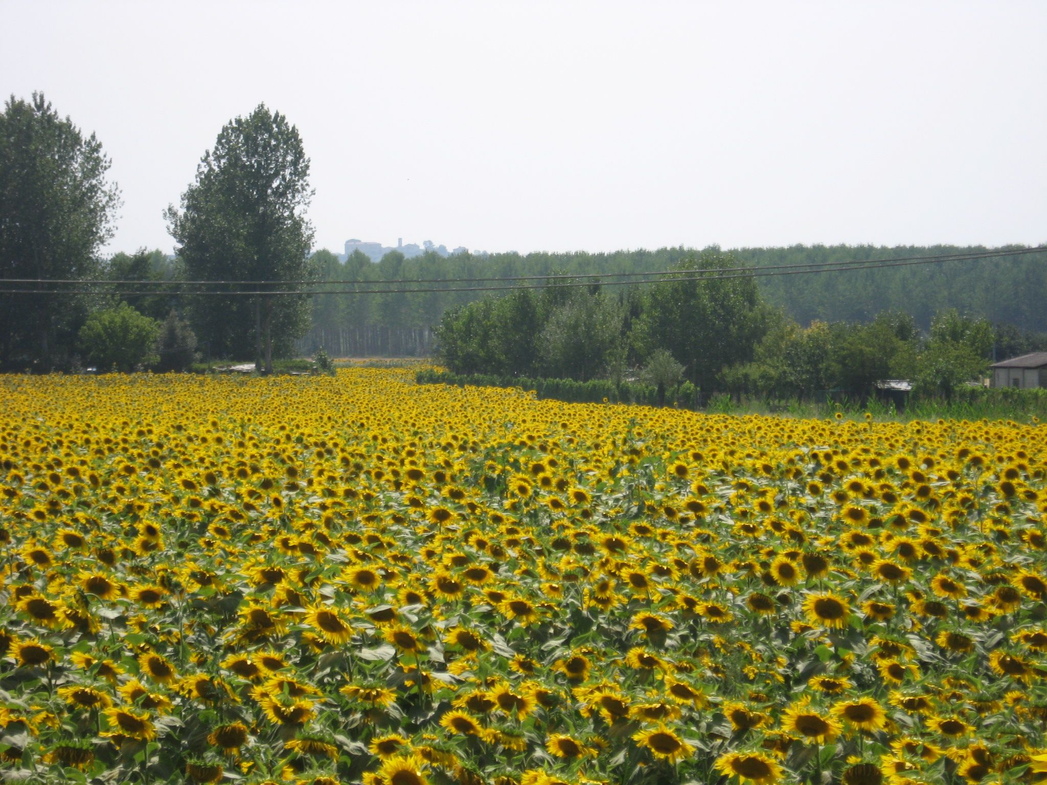 Sunflowers under the Tuscan sun  keritravel@gmail.com