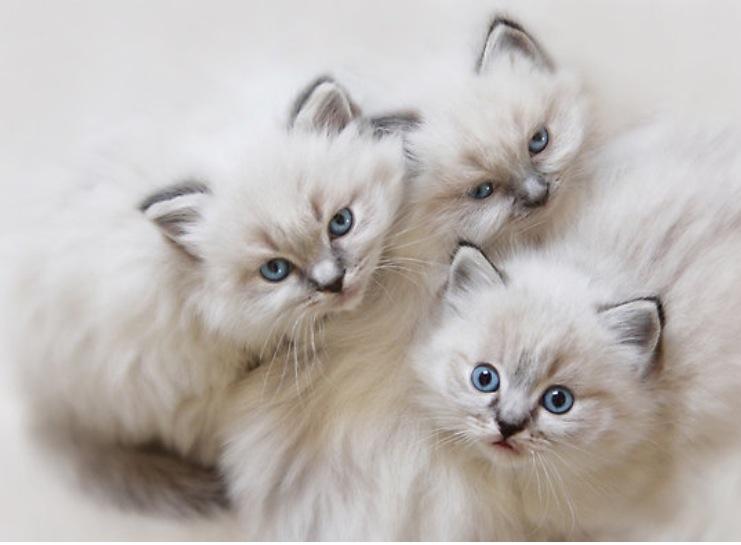 Gaticos Persas Chinchilla de plata.