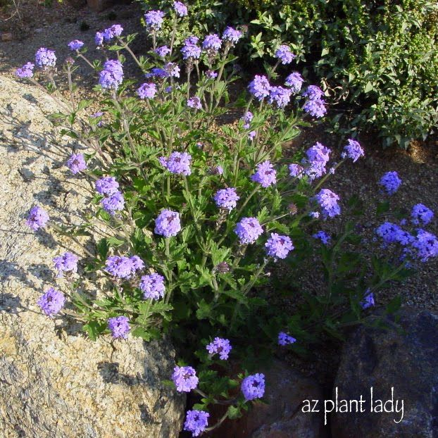 Gooding S Verbena Desert Garden Ground Cover Plants