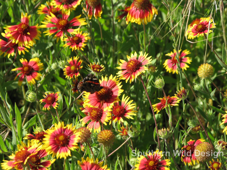 Gaillardia Blanket Flower With Red Admiral Butterfly Perennials