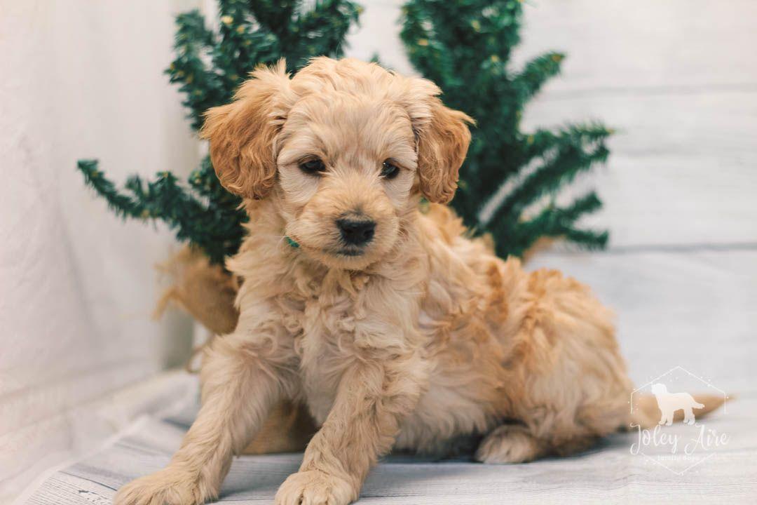 Clark Mini Goldendoodle pupper for sale at Illinois