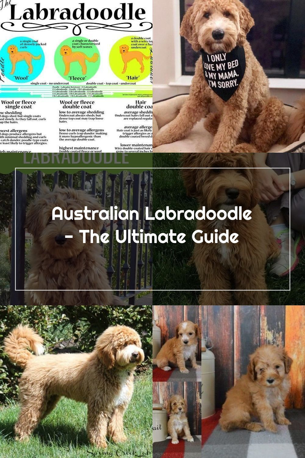 Did You Know That Aussie Labradoodles Are A Cross Of 6 Different Breeds Le In 2020 Labradoodle Australian Labradoodle Breeds