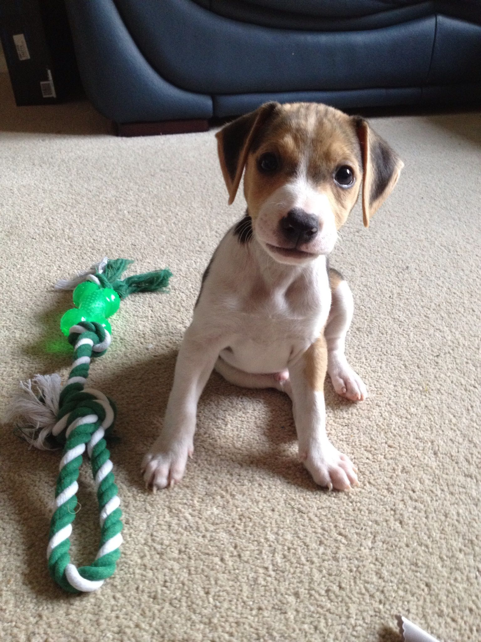 My Jackabee Puppy Jack Russell Beagle Crossbreed Dog Jack