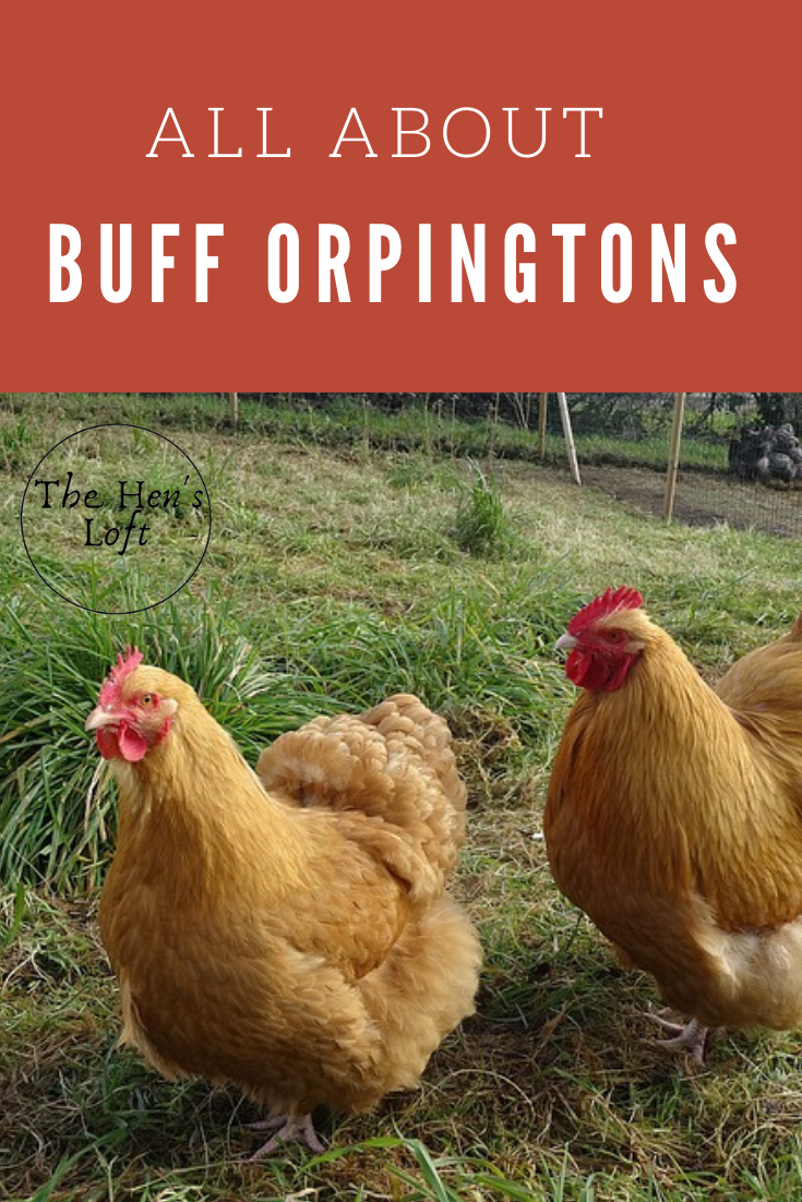 Buff Orpington Chicken Breed Everything You Could Ever Want To Know The Hen S Loft In 2020 Buff Orpington Chickens Buff Orpington Chickens Backyard Breeds