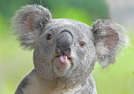 Image result for animals sticking their tongue out