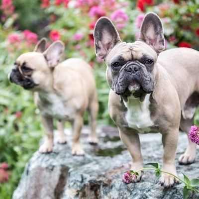 Our Males And Females French Bulldogs And More