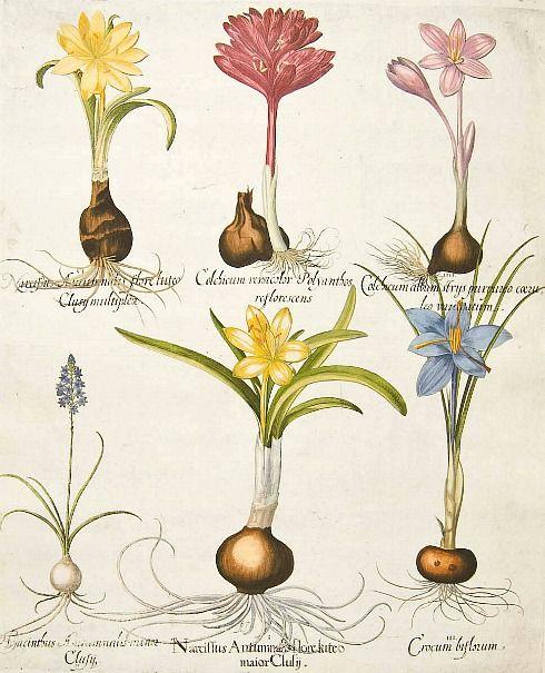Basilius Besler    Crocus, Hyacinth, & Narcissus