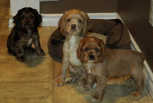 Cocker Spaniel Puppies For Sale Cocker Spaniels Spaniel