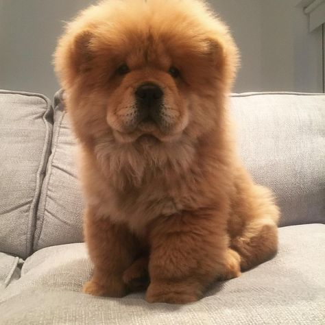Chow Chow Chow Chow Puppy Baby Dogs Cute Baby Animals