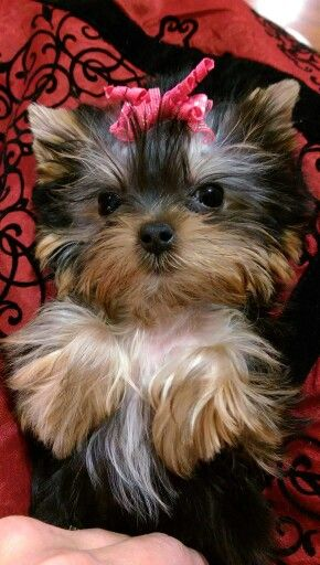 Priceless Yorkie Puppy Teacup, Baby Doll, Yorkie Puppies For Sale