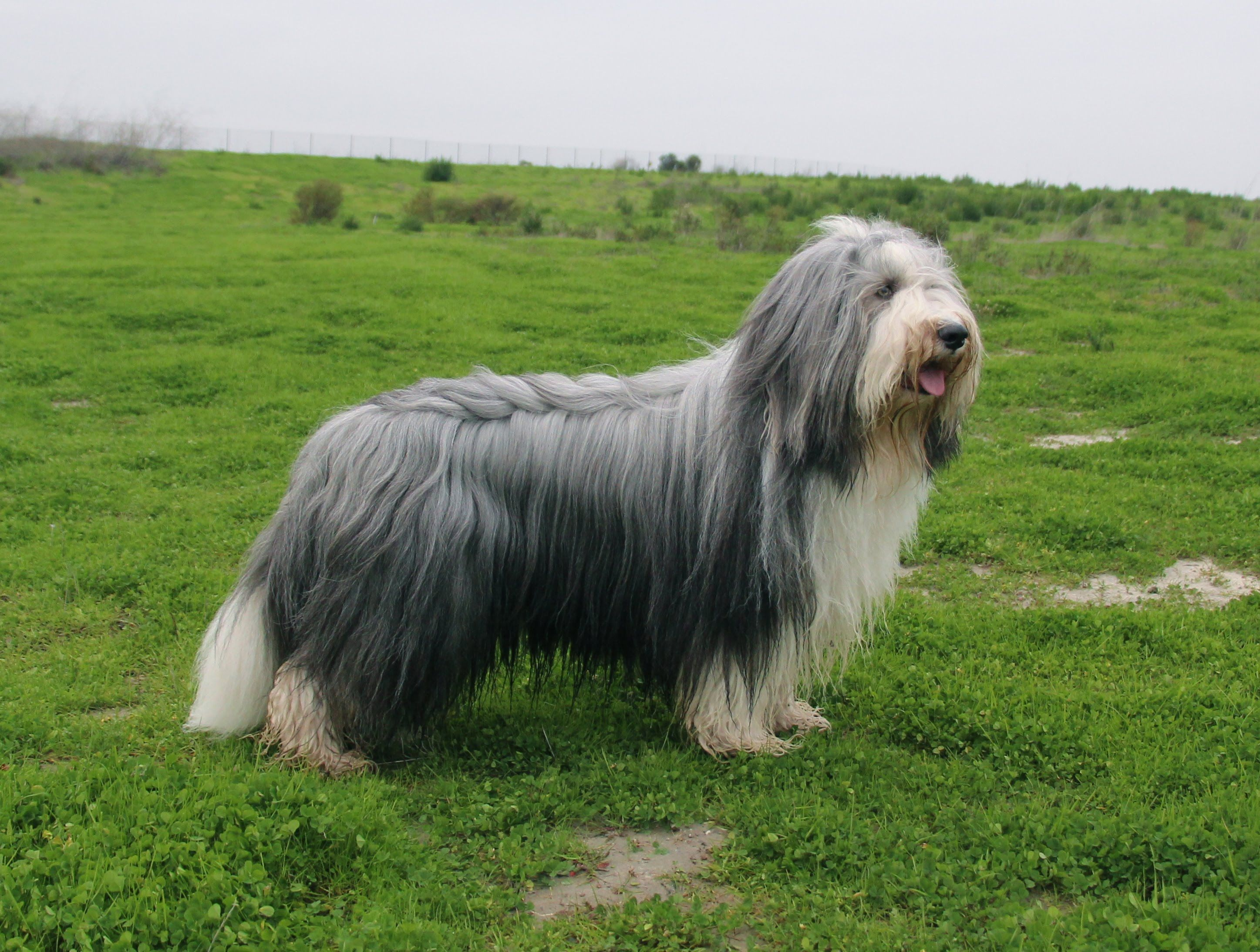 Sweet Little Beardie Bearded Collie Bearded Collie Puppies