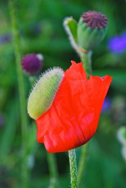 Garden Sonja Bannick Pictures Mit Bildern Mohnblume