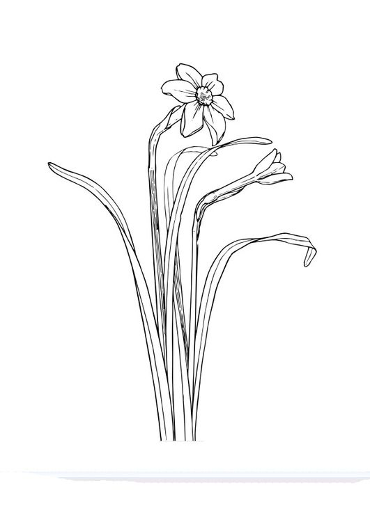 coloring page daffodil  art images flower line drawings