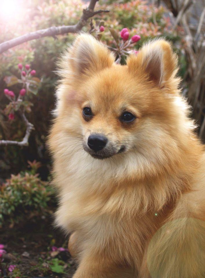 Verwonderend Pomerian x dwergkees | Pictures | Animals, Cute animals, Dogs FS-44
