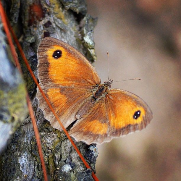 Asturias ♡ These always have their wings closed.. I took this one high up in the mountains. Kind - Maniola Telmessia
