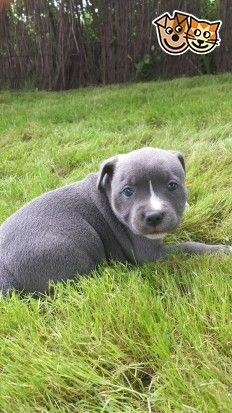 Gorgeous Blue Staffy Babies Wisbech Cambridgeshire Pets4homes Staffordshire Bull Terrier Puppies Blue Staffy Dogs And Puppies