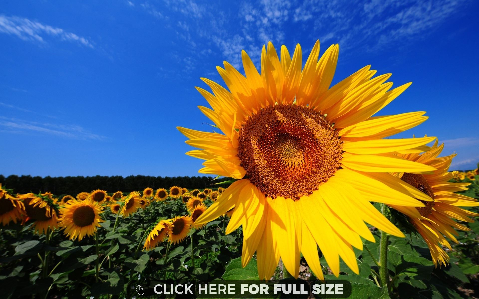 Sunflower Fields Wallpaper Desktop Hq wallpaper Desktop