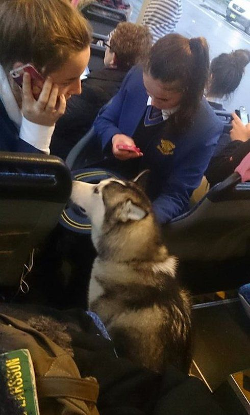 Bus driver stops bus to rescue lost dog running in heavy traffic (PHOTOS) » DogHeirs   Where Dogs Are Family « Keywords: husky, bus, bus driver, Australia