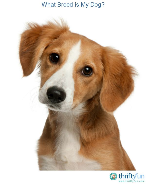 What Breed Is My Dog Dogs Dog Breeds Animals