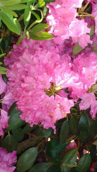 Rhododendron Plants Lush Garden Flowering Shrubs