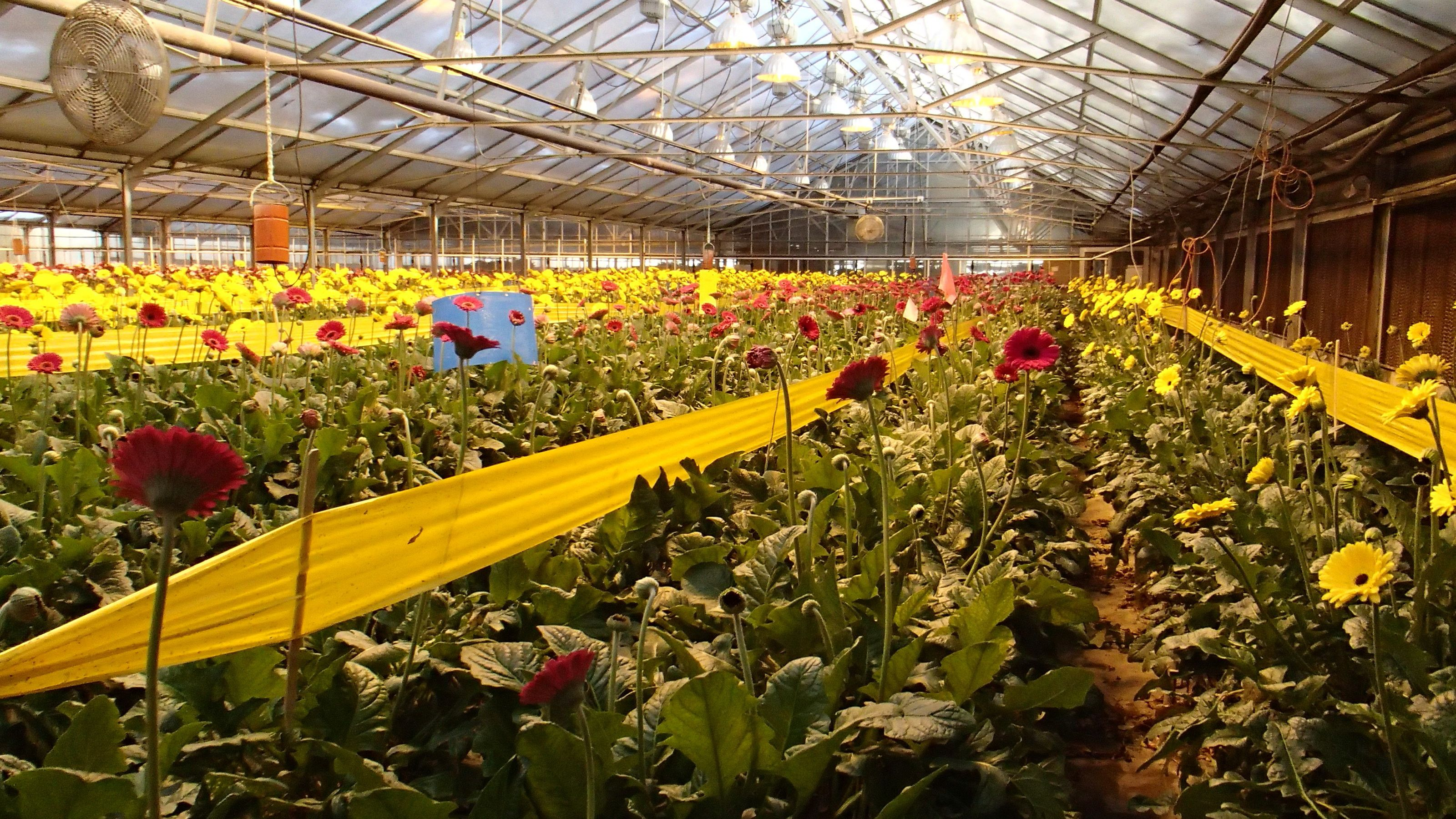 Gerberas in the greenhouse in Plymouth, MN @ our one of wholesalers ...