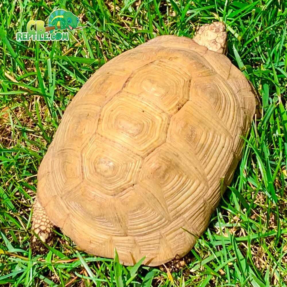 Tortoise For Sale Buy Baby Tortoise Hatchlings For Sale Online Near Me Baby Tortoise Tortoise Baby Tortoise For Sale