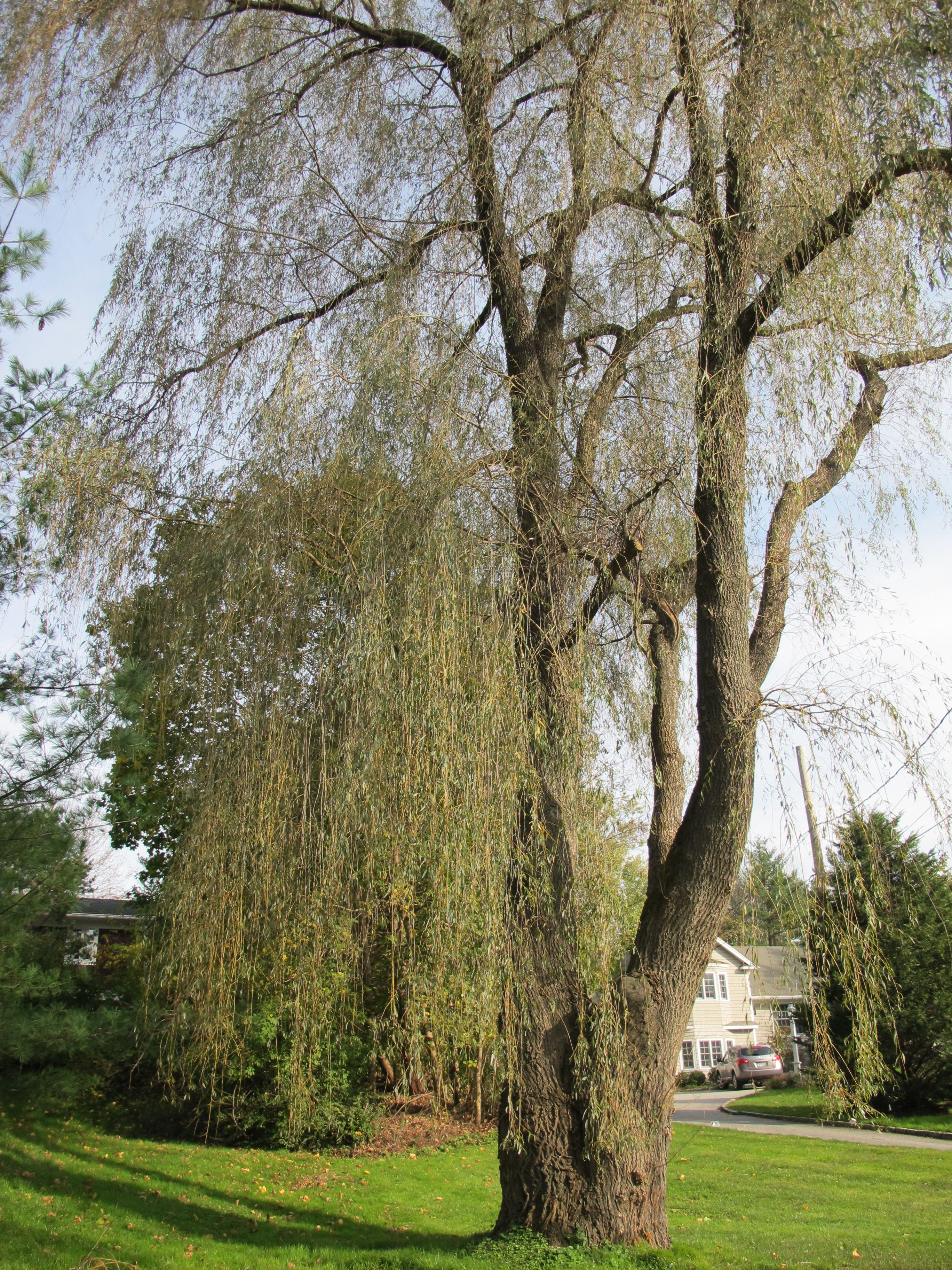 how to make your own willow rooting hormone