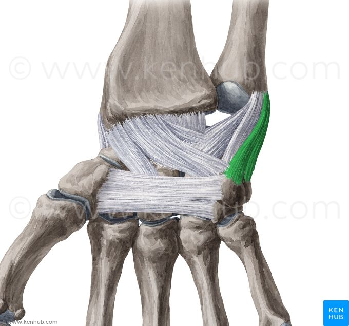 Medial Collateral Ligament Of Wrist Ulnar Collateral Ligament Of