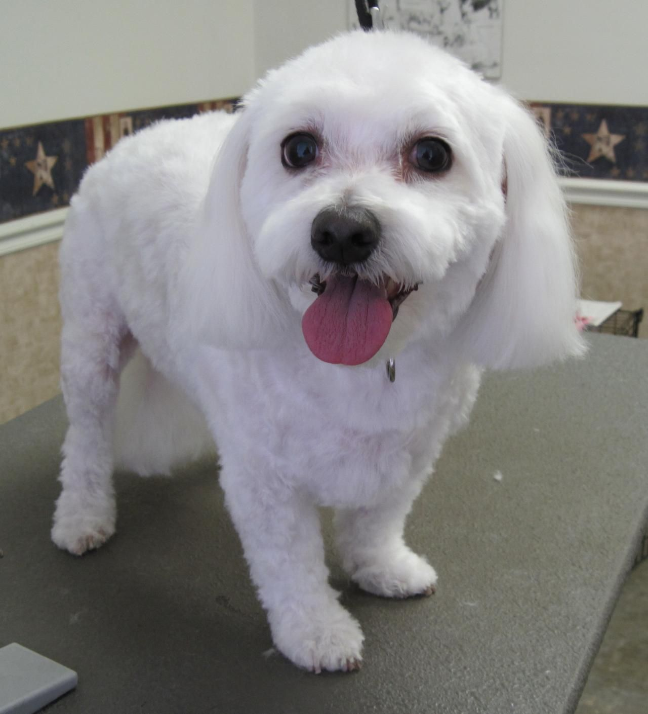 Short Maltese Haircuts Magic S Pet Salon Photo Gallery